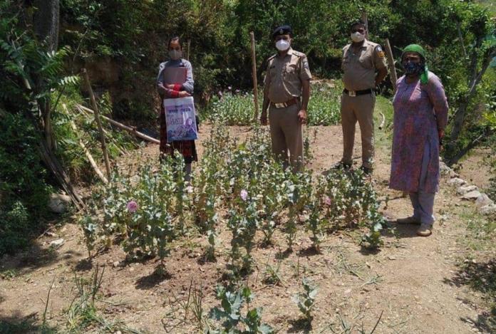 अर्की: अफीम के 1190 पौधे सहित एक व्यक्ति गिरफ्तार