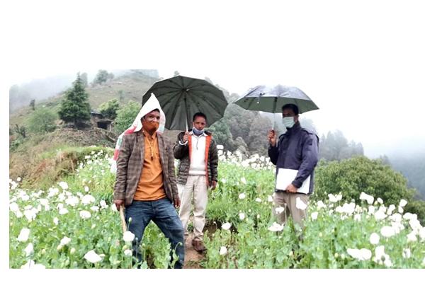 मंडी में पुलिस की बड़ी कार्रवाई , 68 बीघा जमीन पर अफ़िम के 15 लाख पौधे बरामद