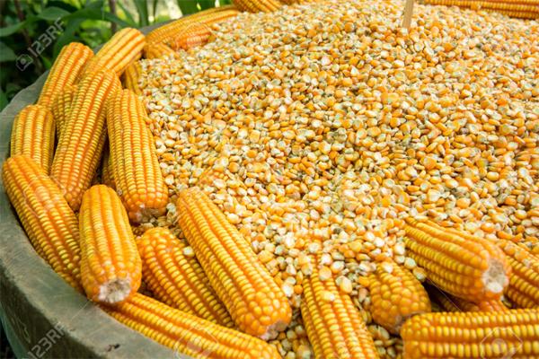 हमीरपुर जिला में किसानों को 1,892 क्विंटल मक्की बीज का वितरण