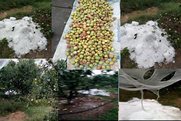 मौसम के मिजाज बदलते ही बागवानों पर आई आफत,ओले गिरने से सेब व अन्य फलदार फ़सलें बर्बाद